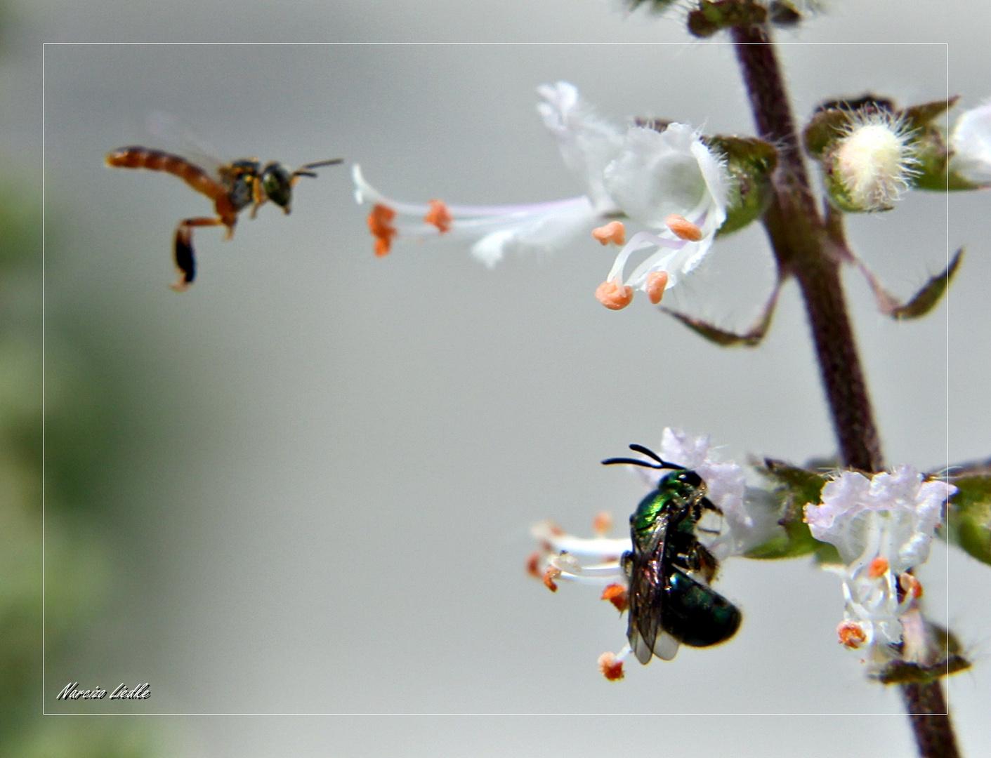 Abelhas e flores de manjericão