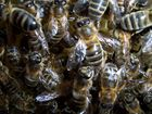 Abelles de la mel