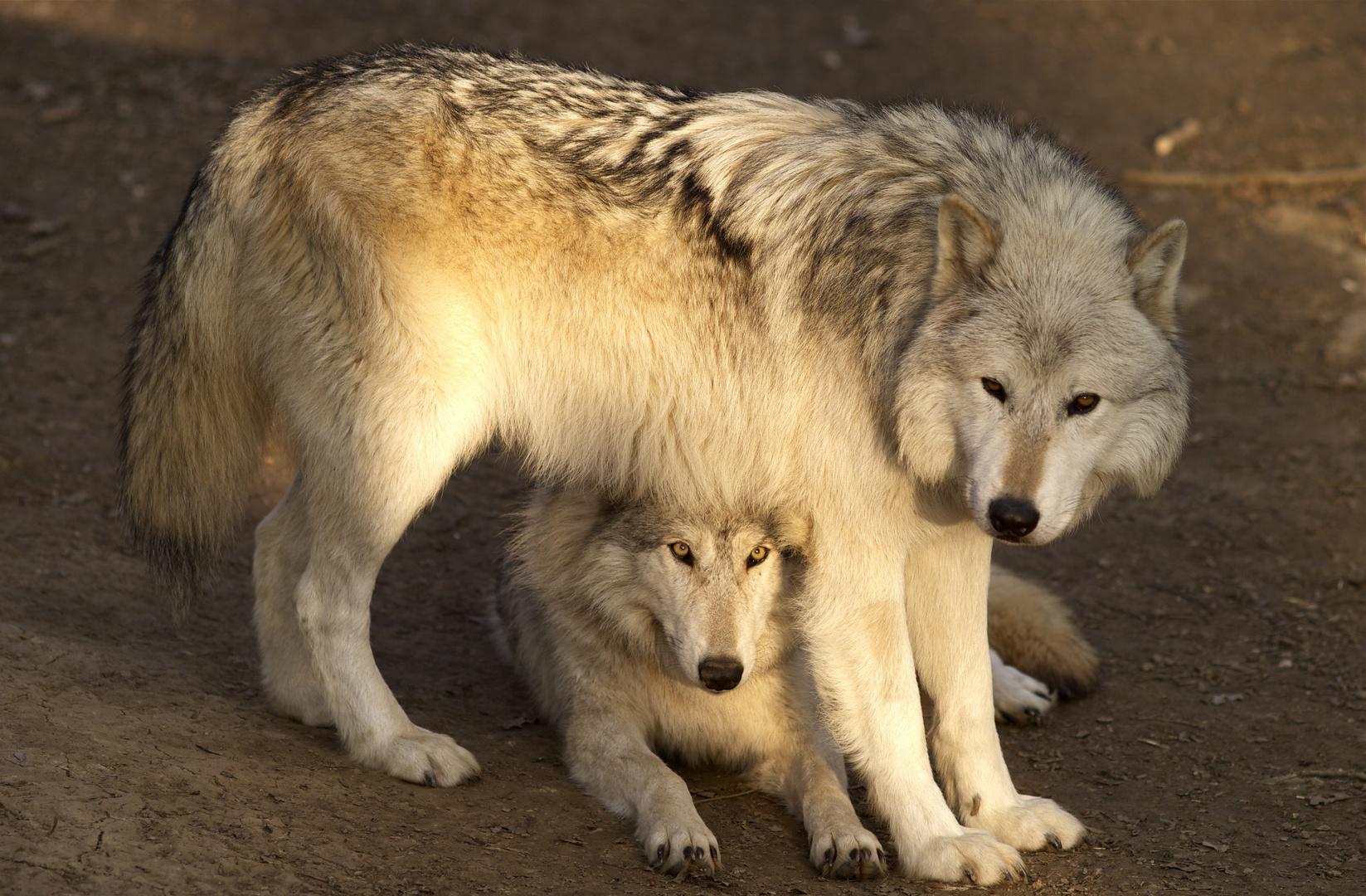 Abend im Wolfsgehege!