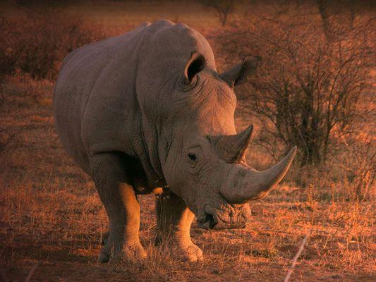 Abend-Rhino