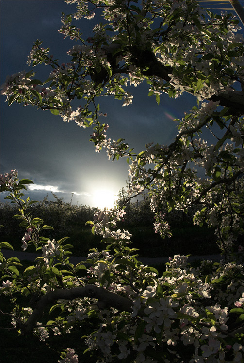 Abendblüte