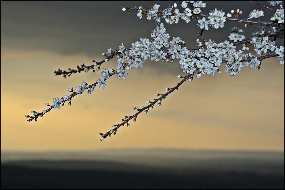 Abendblüten