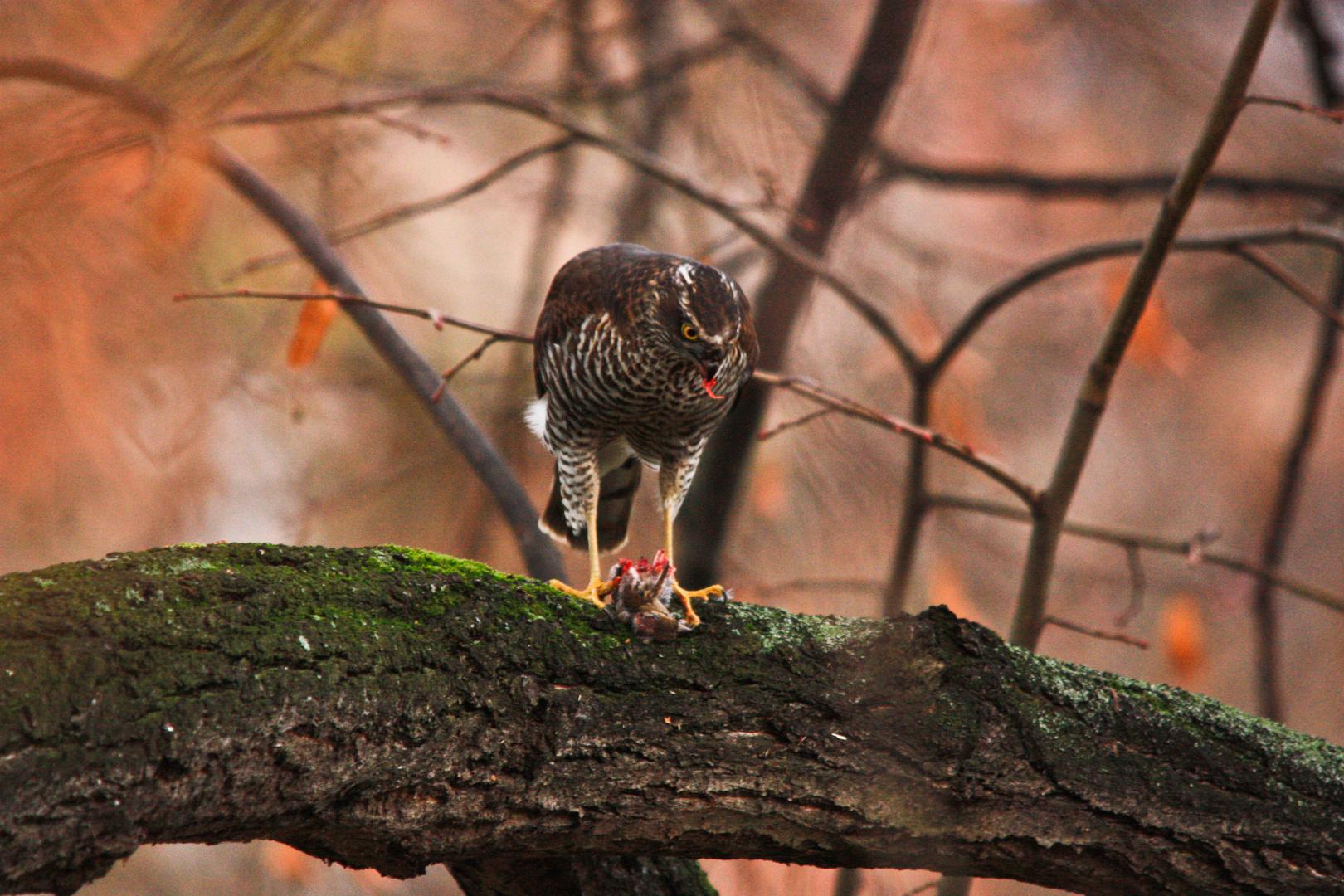 Abendbrotzeit beim Falken