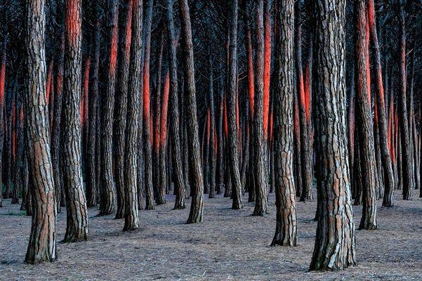 - Abendglühen im Pinienwald -