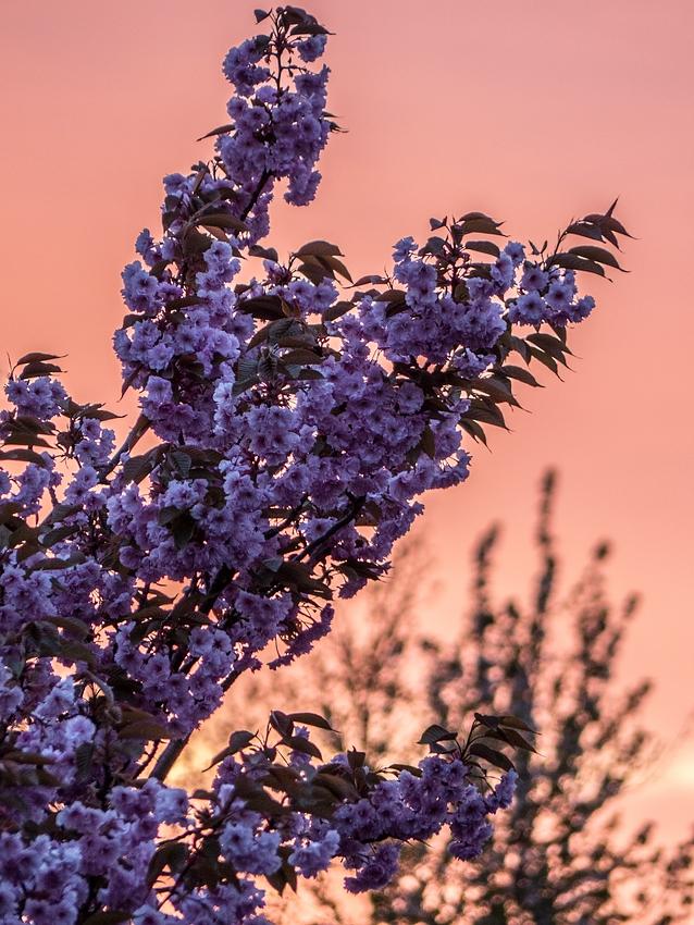 Abendlicher Blütenzauber