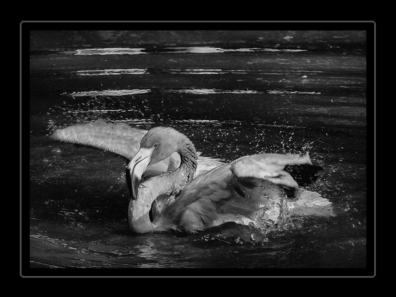Abendliches Bad eines Flamingos