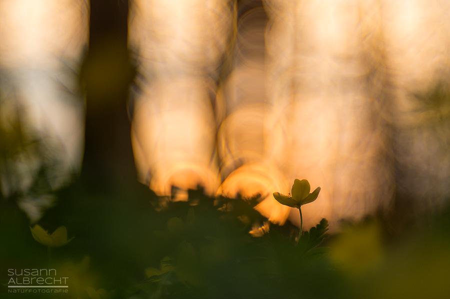 Abendlicht im Windröschen-Wald