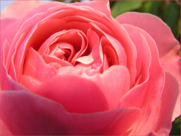 Abendrot küsst rosa Rose...