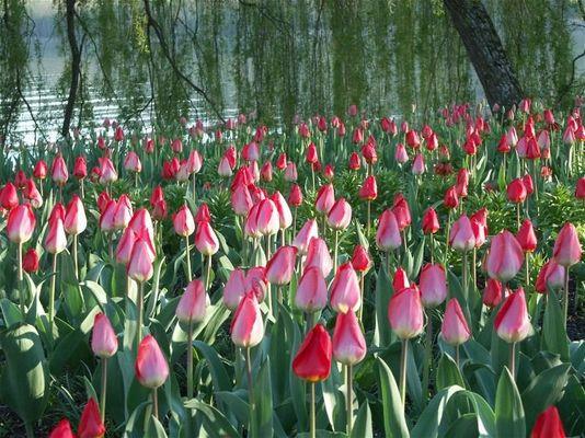 Abendstimmung im Tulpenbeet