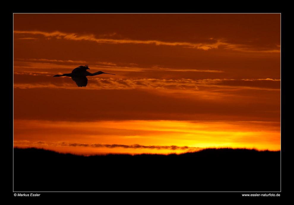 Abendstimmung (Löffler im Flug) • Insel Texel, Nord-Holland, Niederlande (88-21486)