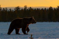 Abendstimmung mit Bär