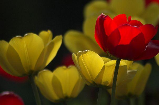 Abenlicht mit Tulpen