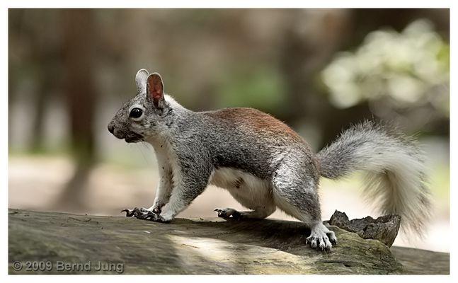 Abert-Hörnchen