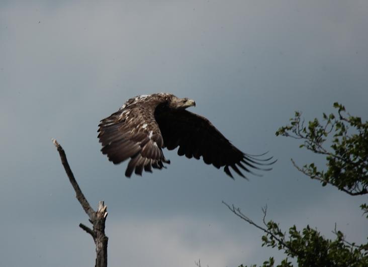 Abfliegender Seeadler