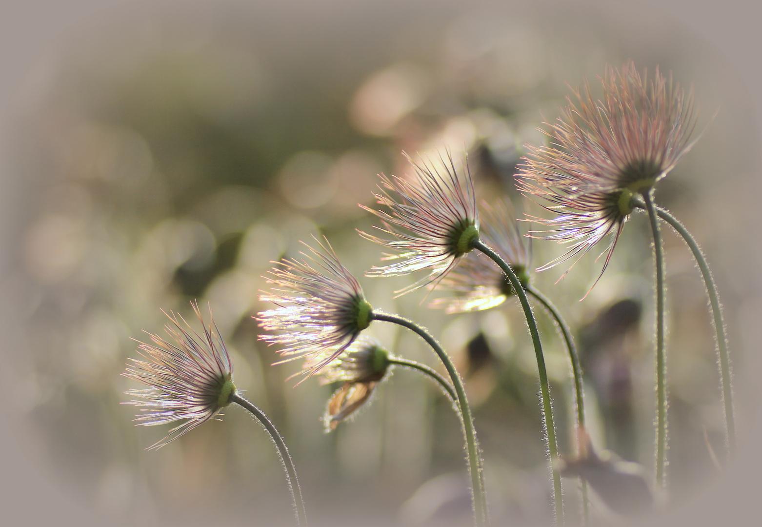 abgeblühte Schönheiten...