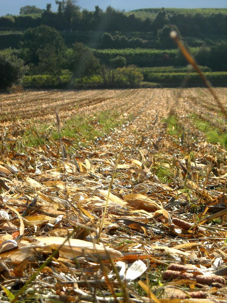Abgeerntetes Maisfeld im Herbstlicht