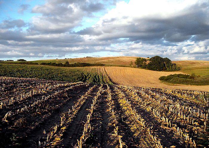 abgeerntetes Maisfeld in der Uckermark