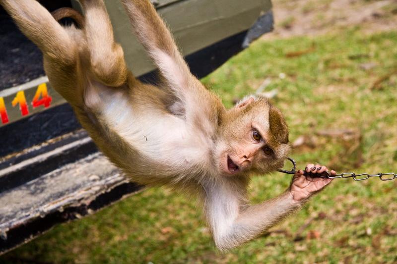 Abgerichteter Affe auf Ko Samui