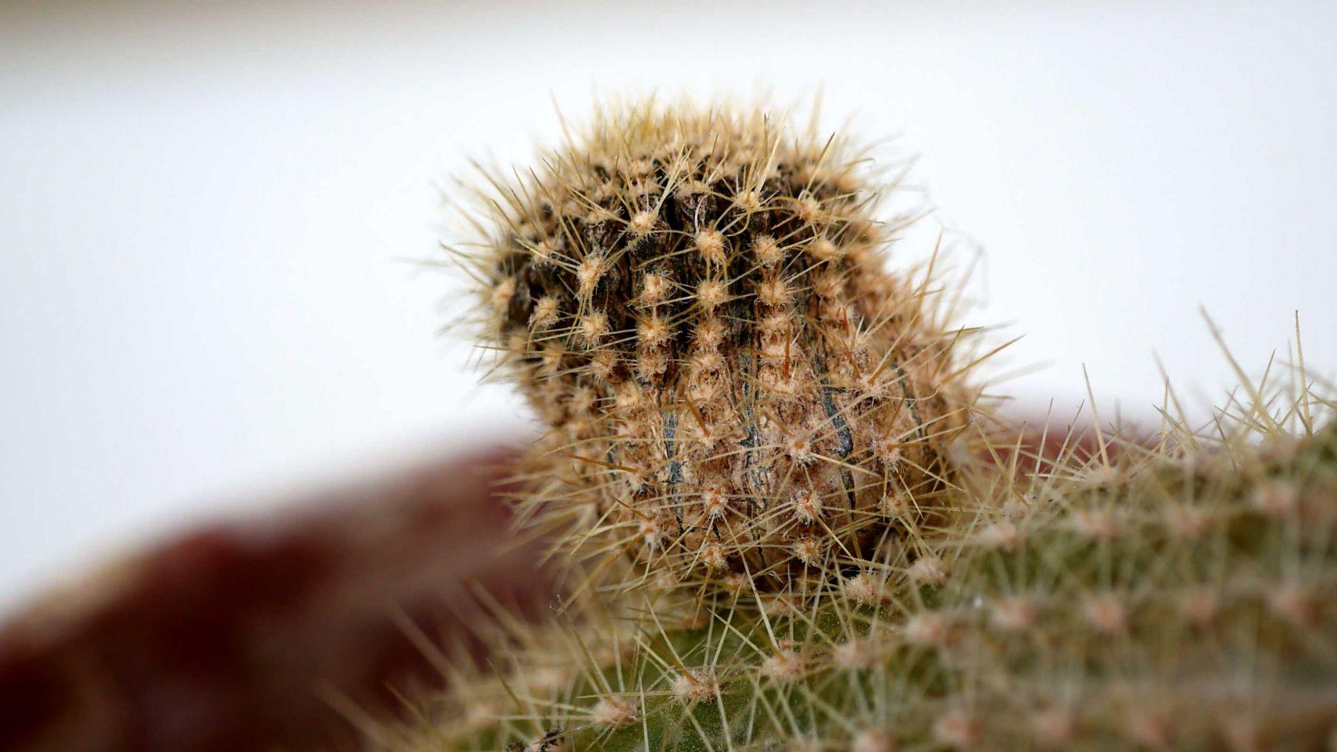 Ableger eines Kaktus
