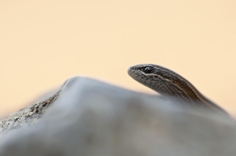 Ablepharus kitaibelli