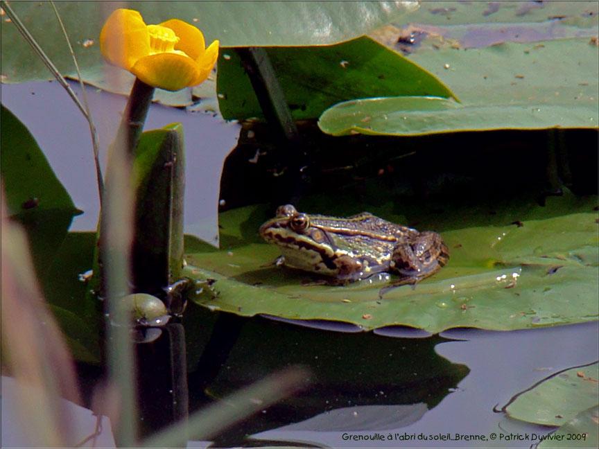 Abri de grenouille, Frog's shelter