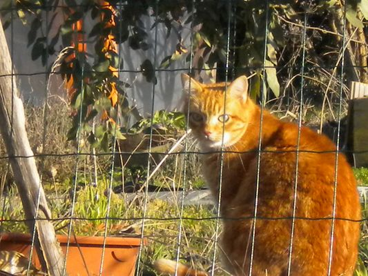Abricot dans son potager
