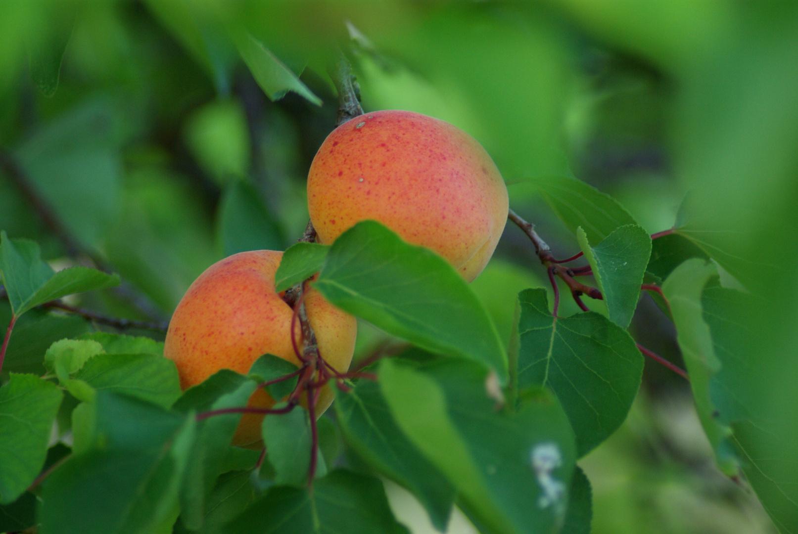 abricots du jardin