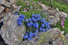 Abschied mit diesem Himmelsherold Eritrichium nanum, den viele für den König der Alpenpflanzen...