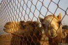Abstecher auf der Wüstensafari in Dubai bei einer Kamelfarn