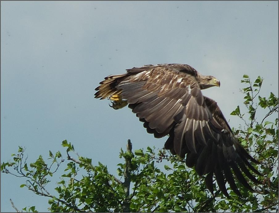 Abstreichender Adler
