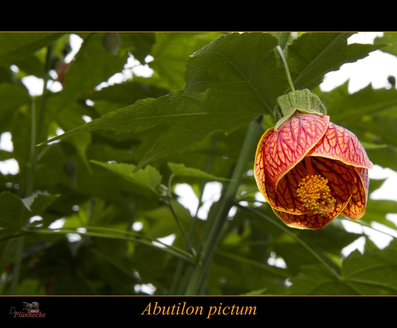 Abutilon pictum