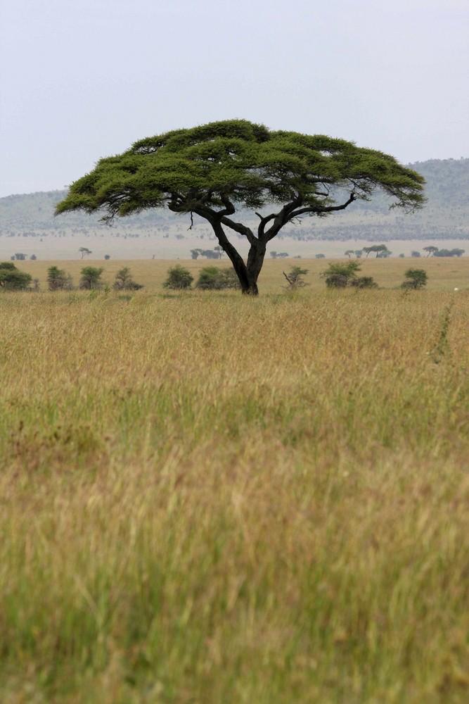 Acacia (Serengeti - Tanzania)
