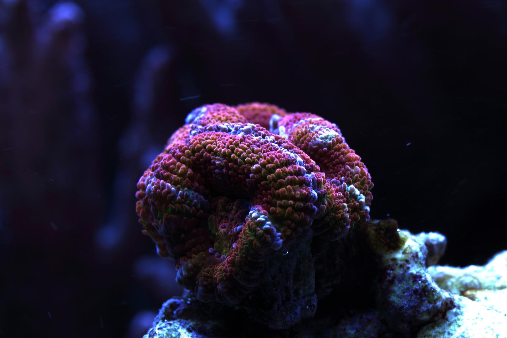 Acanthastrea lordhowensis