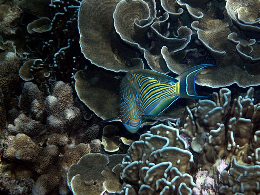 Acanthurus lineatus - Blaustreifen Doktorfisch