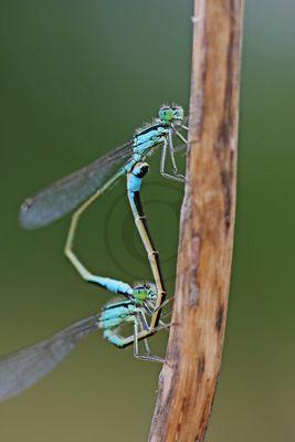 Accouplement d' Ischnura elegans (L'Agrion élégant)