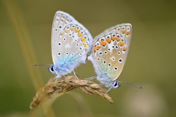 accouplement de bleu nacré