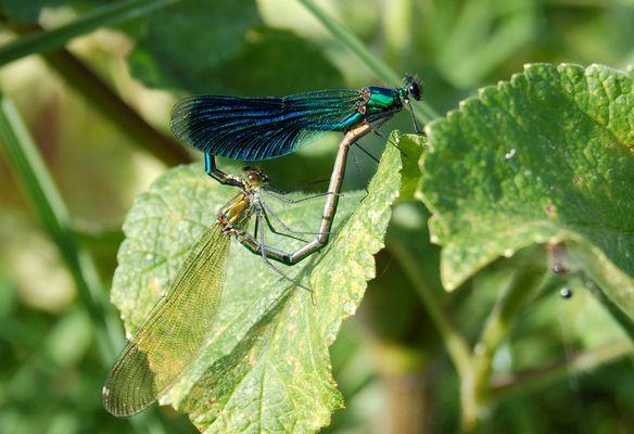 accouplement de calopteryx splendens