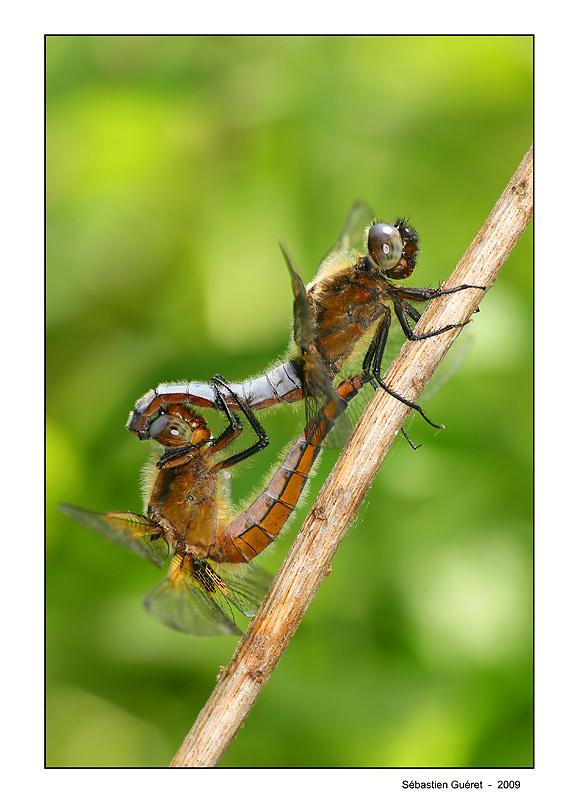 Accouplement de libellules