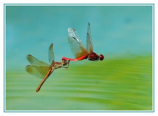 Accouplement libellules en vol