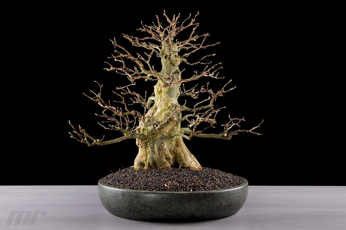 acer buergerianum dreispitz ahorn bonsai 01 foto bild. Black Bedroom Furniture Sets. Home Design Ideas
