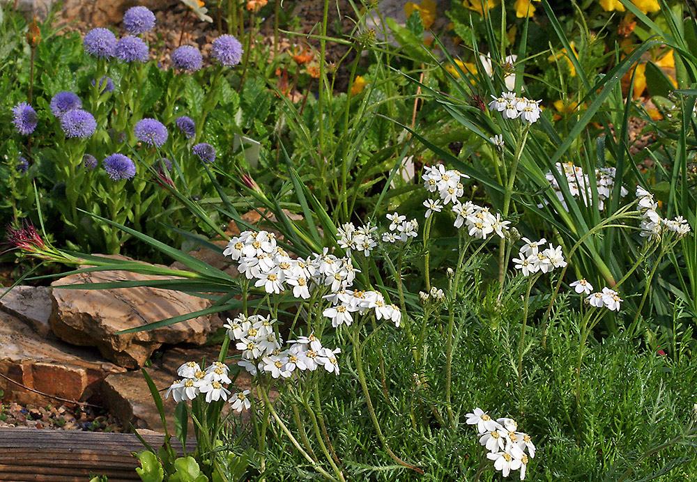 Achillea erba rotta ssp. moschata - Moschusschafgarbe die auch so riecht !