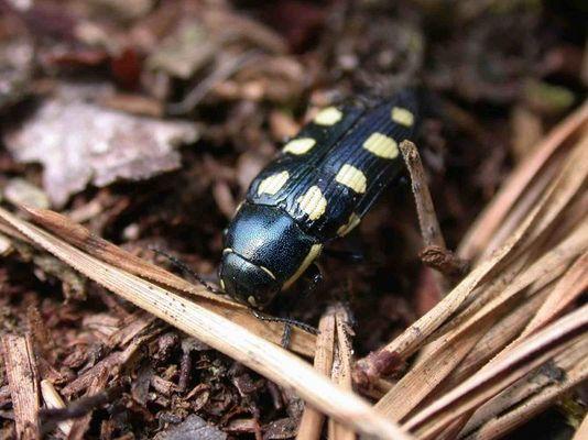 Achtfleckiger Prachtkäfer (Buprestis octoguttata)