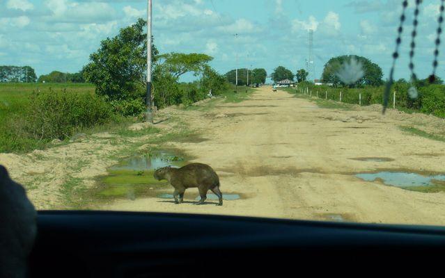 Achtung - Capibaras kreuzen !