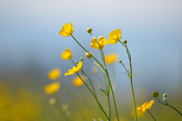 """Acker Hahnenfuss """"Ranunculus arvensis"""""""