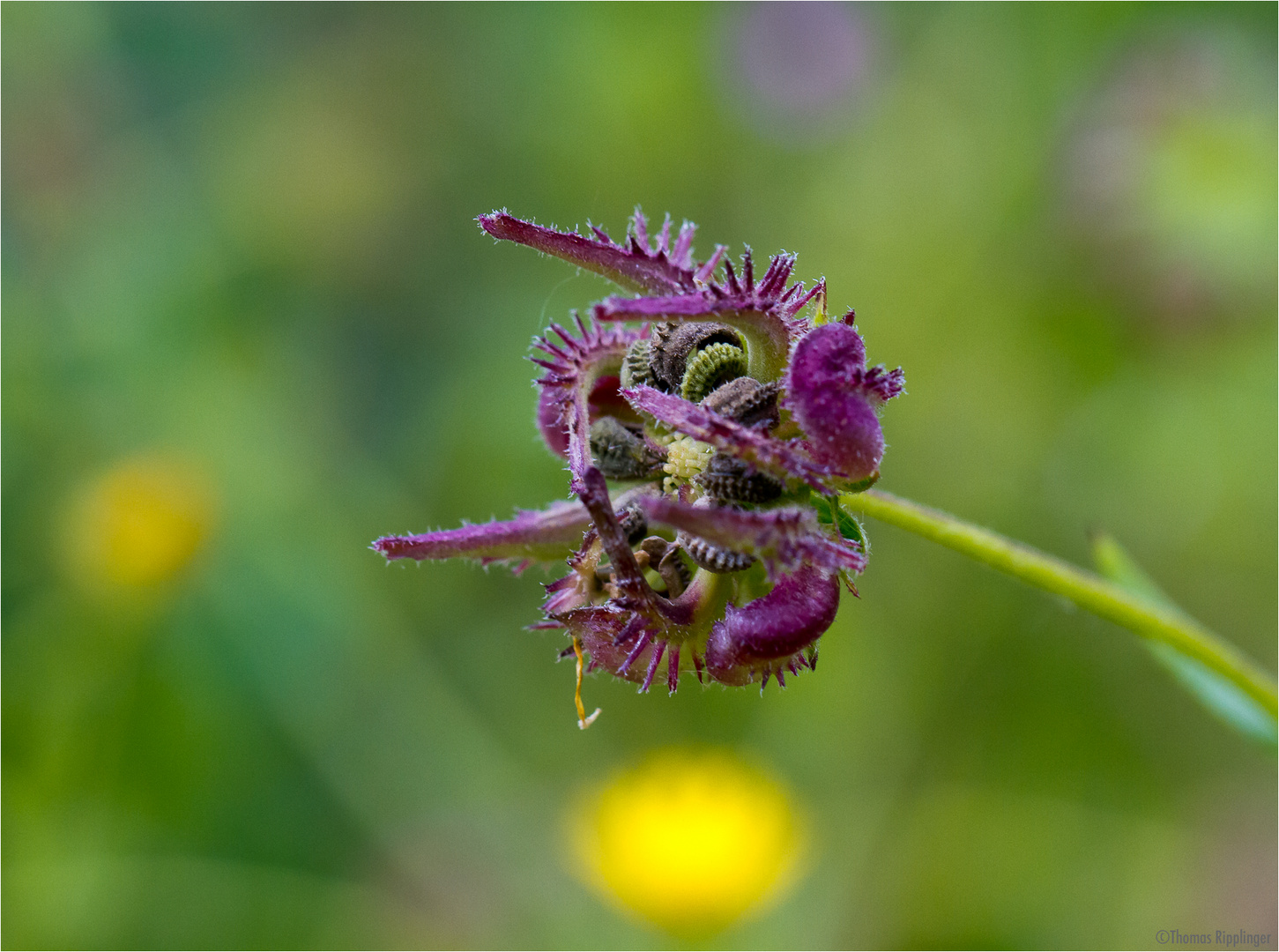 Acker-Ringelblume (Calendula arvensis).