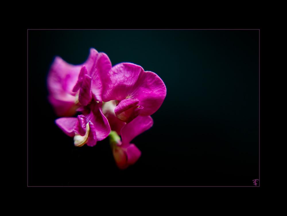 ackerblume