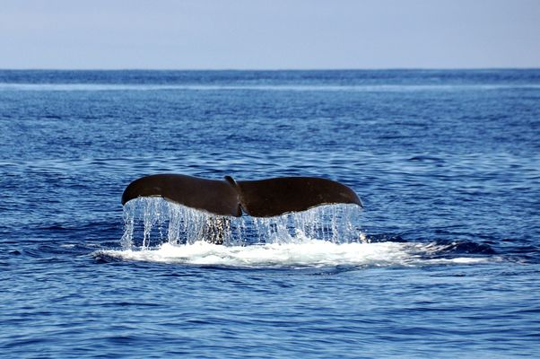 Acores 2014 - Whale