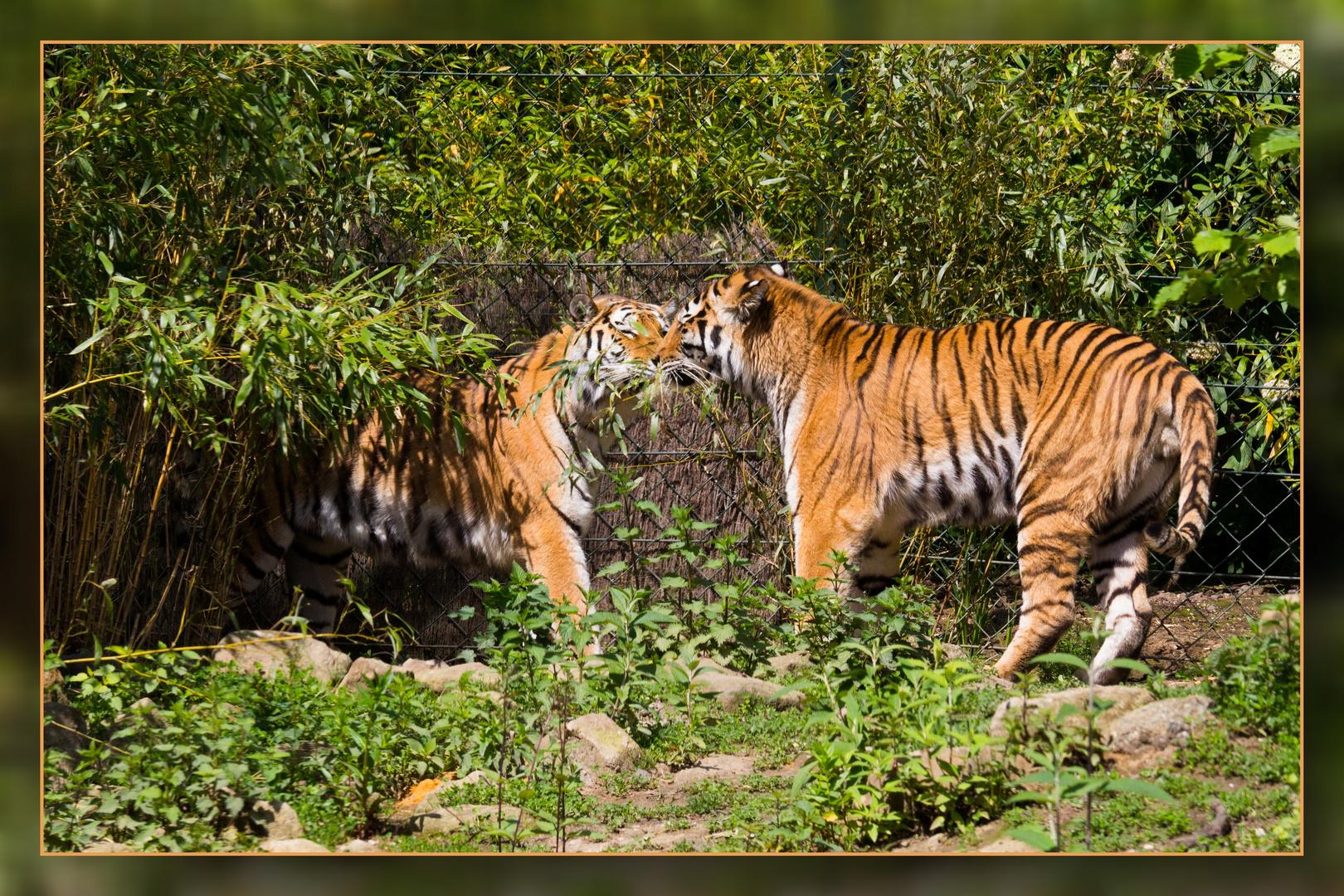 Action bei den sibirischen Tigern 02
