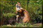 Action bei den sibirischen Tigern 03