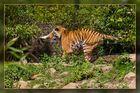 Action bei den sibirischen Tigern